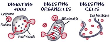 Storage and Digestion - Cells & Organelles