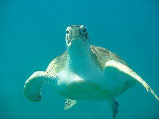 Snorkeling with the turtles is awesome!
