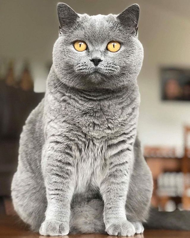 Once A Princess Always A Princess Shot By Pippa British Shorthair Britishshorthair Cats And Kittens British Shorthair Cats Cute Cats