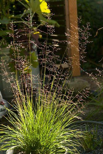 sporobolus heterolepis plants pinterest photos. Black Bedroom Furniture Sets. Home Design Ideas