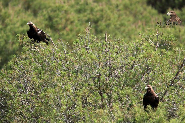 Ayer nos brindaron una buena sesión de fotografia, nuestra pareja de Águila imperial ibérica (Aquila adalberti), desde el hide de Alpasin,en el corazón de Sierra Morena.