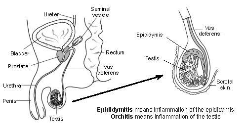epididymis definition – citybeauty, Human body