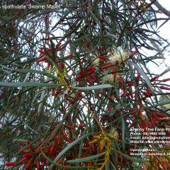 Eucalyptus spathulata 'Swamp Mallet' 8m