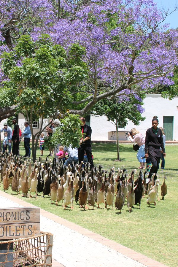 Vergenoegd Wine Estate is fantastic, child friendly wine estate to visit from the Duck Parade to Gourmet Picnics. www.lovemycapetown.com