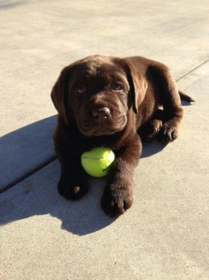 Best 25+ Chocolate labrador puppies ideas on Pinterest | Chocolate ...