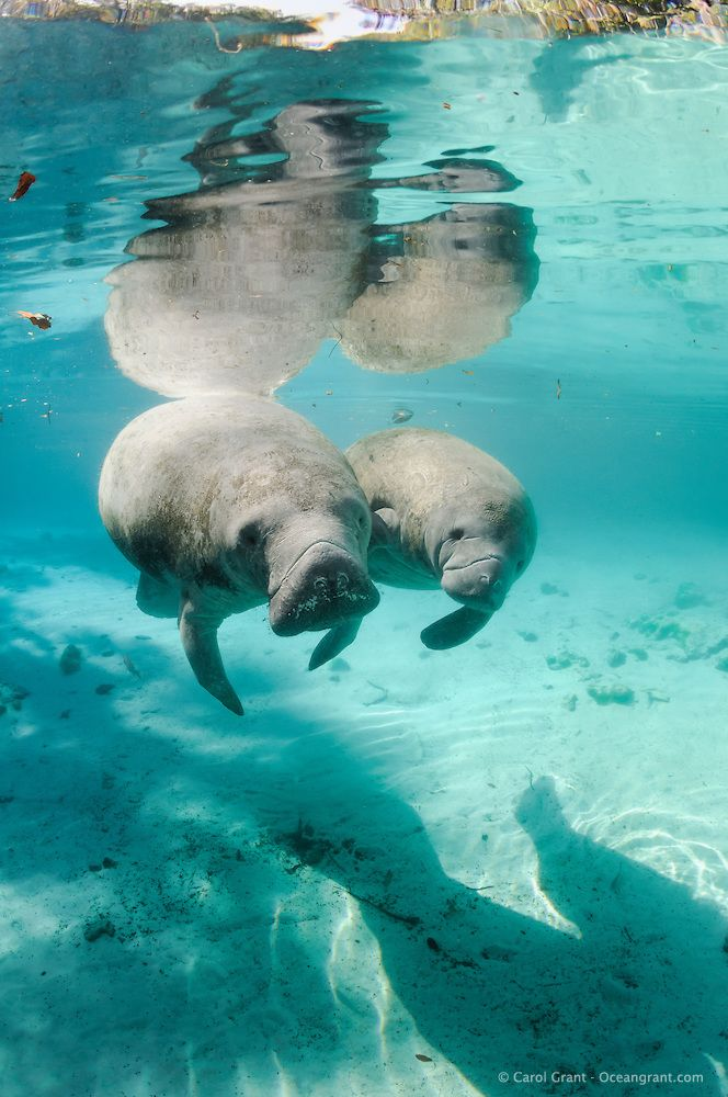 Florida Manatee ... love swimming with them in the wild