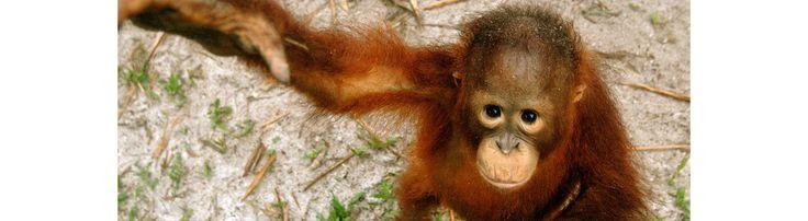 An orangutan orphan