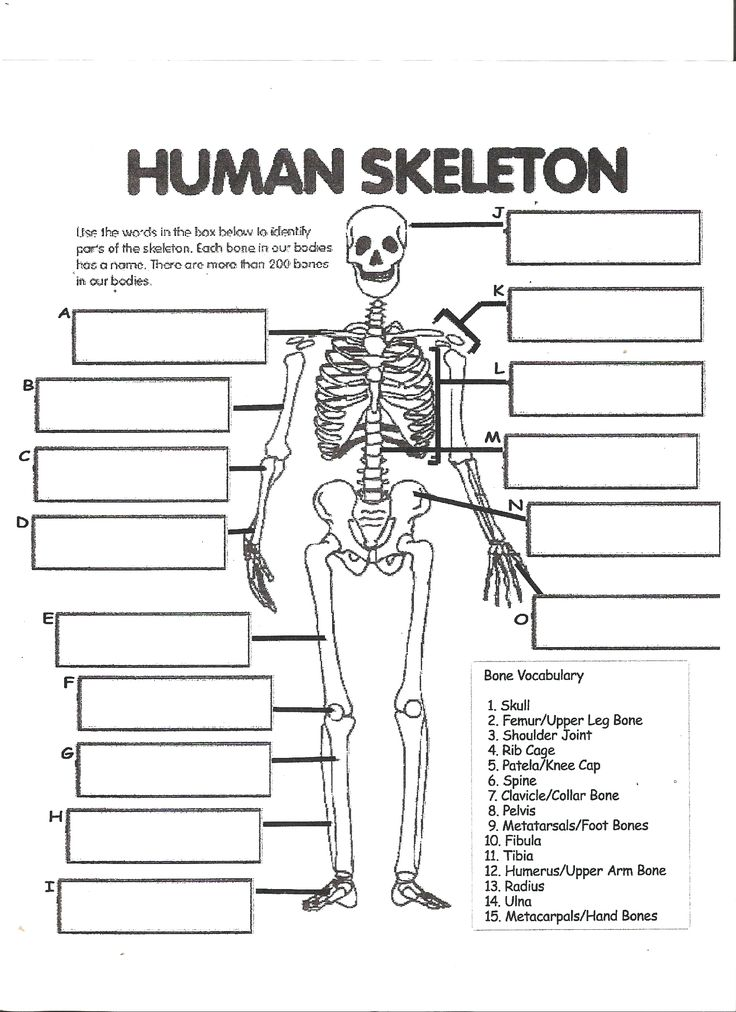 Digestive System Labeling Worksheet Answers Human Skeleton