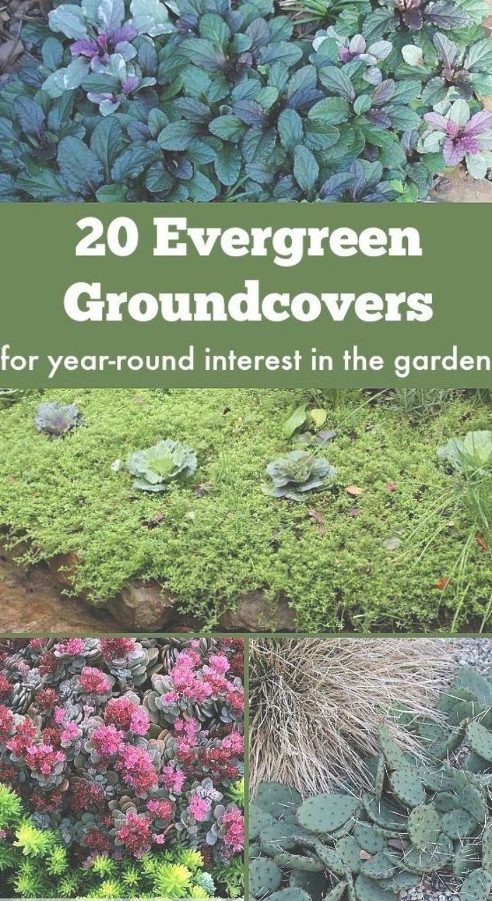 20 Evergreen Groundcover Plants For Year Round Interest For Sun Shade And Blooms Garden Evergreen Groundcover Ground Cover Plants Ground Cover Plants Shade