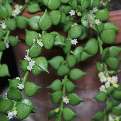 Dischidia ruscifolia, parente próxima da Hoya