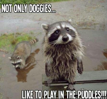 Not only doggies like playing in puddles...raccoons do too
