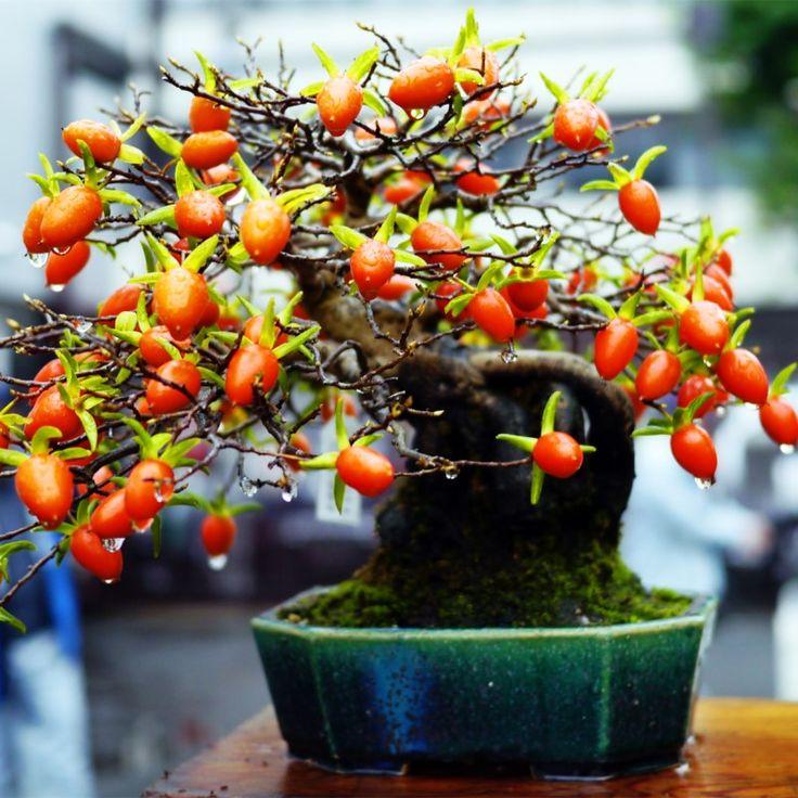 20 шт./пакет Редкие японской хурмы фруктовых деревьев Бонсай Семена-Diospyros Каки хурма горшках семена фруктовые домашний сад растений