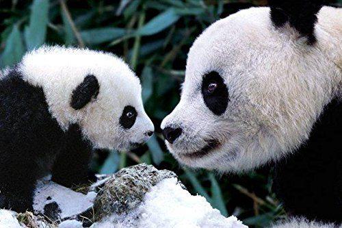 Mother Panda and Cub Animal Photography Poster Print 24 b...