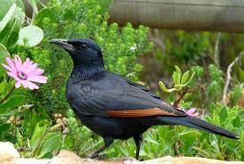 Image result for red winged starling