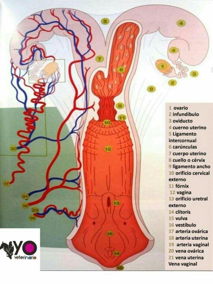 Aparato Reproductor De La Hembra Bovina Aparato Reproductor Craneo Anatomia Veterinaria