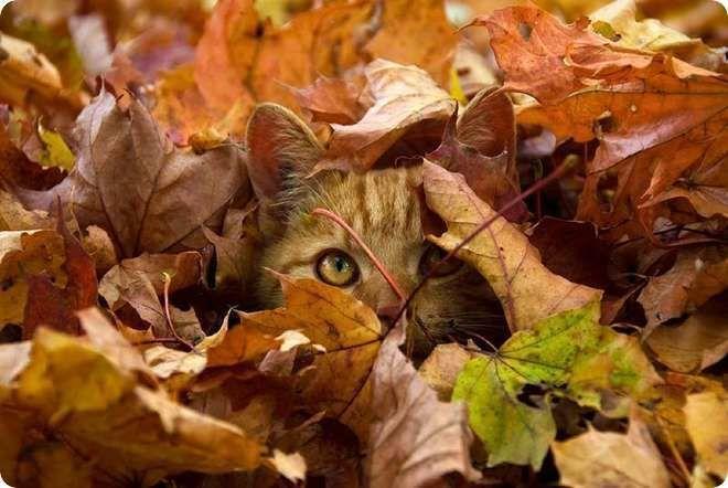 chat roux dans feuilles automne