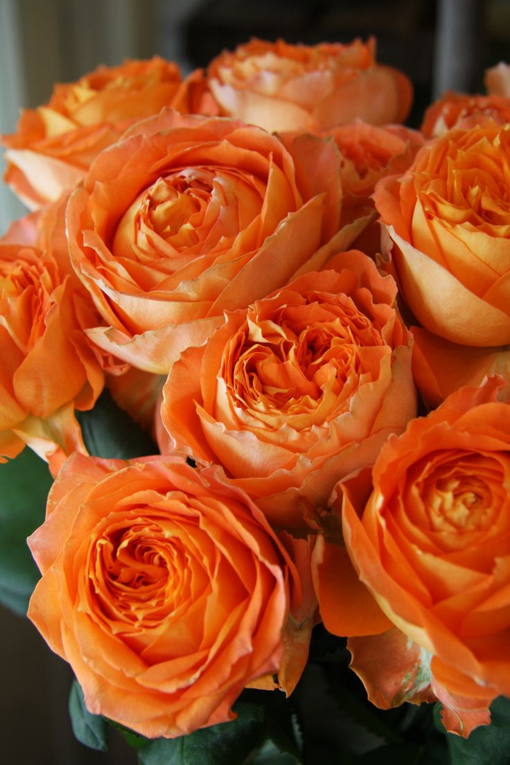 """Orange Garden Rose: 111 Best """"ROMANTICA"""" Roses From MEILLAND SERIES"""" Images On"""
