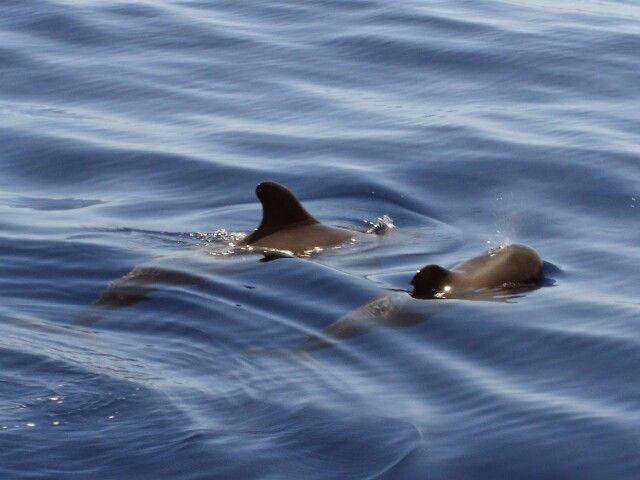 Dolphins in nature #Tenerife