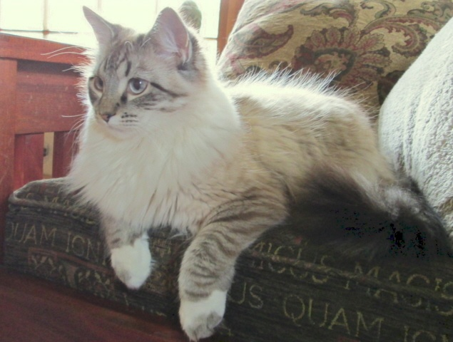 Available For Adoption Purebred Cat Rescue Purebred Cats Puppies And Kitties Cats