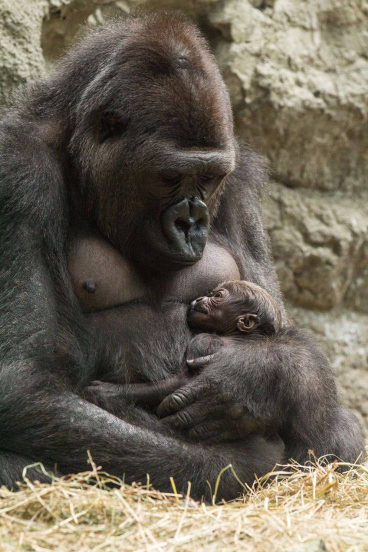 Mother an new baby lowland gorillas at the Buffalo, New York, Zoo. The Buffalo Zoo has several gorillas, which you can watch summer or winter. This Mom is going to raise her own baby, and that's perfect. Lily_baby_e