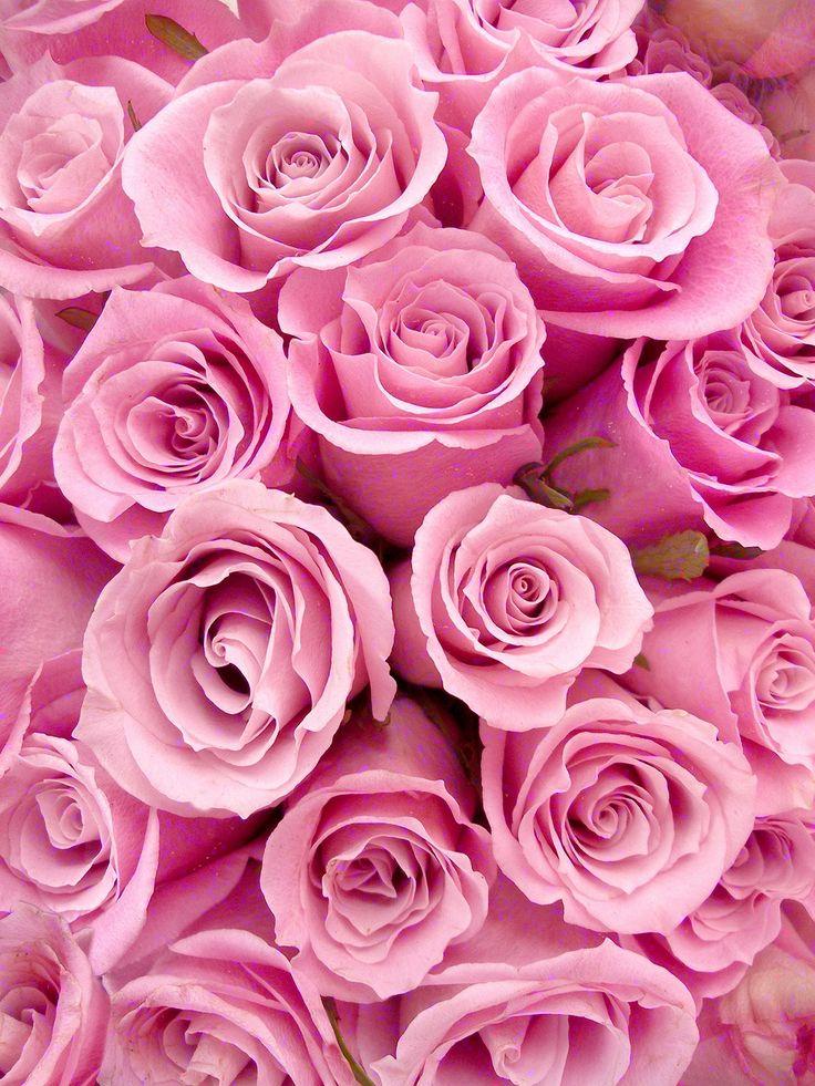 картинка на телефон розовые розы выигрышно смотрятся