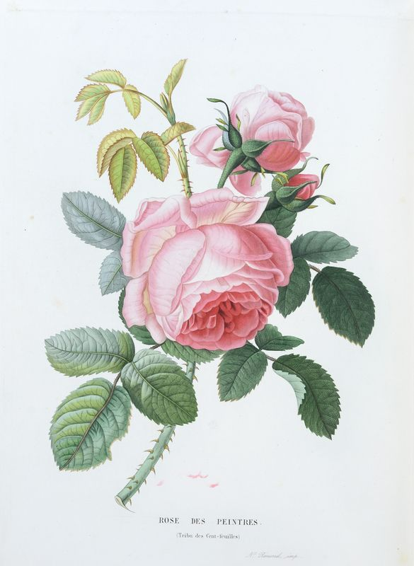 SNHF | Rose des peintres