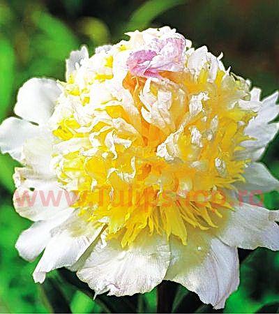 Bulbi Bujor Top Brass (Paeonia)