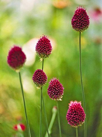 Drumstick allium  Allium sphaerocephalon offers egg-shape reddish-purple spheres in early summer on 2-foot-tall stems. Zones 5-9