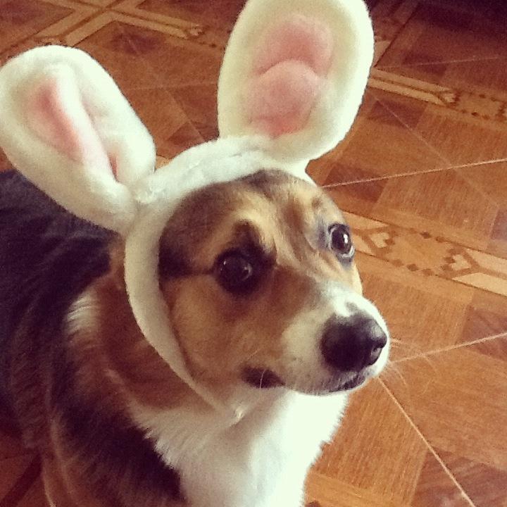 Easter corgi