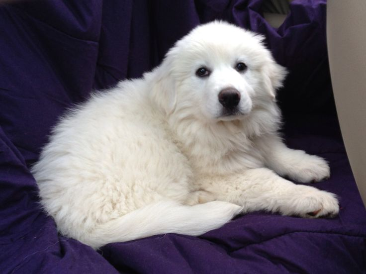 Sugar..... Our great pyreneese as a puppy