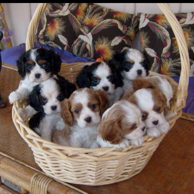 """Is a """"basket of cavaliers"""" synonymous with a """"barrel of monkeys""""?.....looks like a lot of potential fun, sweet puppy breath and love!"""