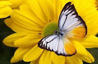 How to build a butterfly garden: Beautiful Butterflies, Yellow Flowers, Building, Articles, Butterflies Gardens, Butterflies Effects, Host Plants, Butterflies Moth Dragonfly, Butterflies Beautiful