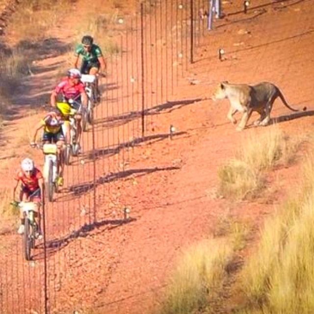 Mabalingwe Lionman MTB race. Being chased by the king of the jungle should give you that extra kick you need to make it to the finish line! BelAfrique - Your Personal Travel Planner - www.belafrique.com