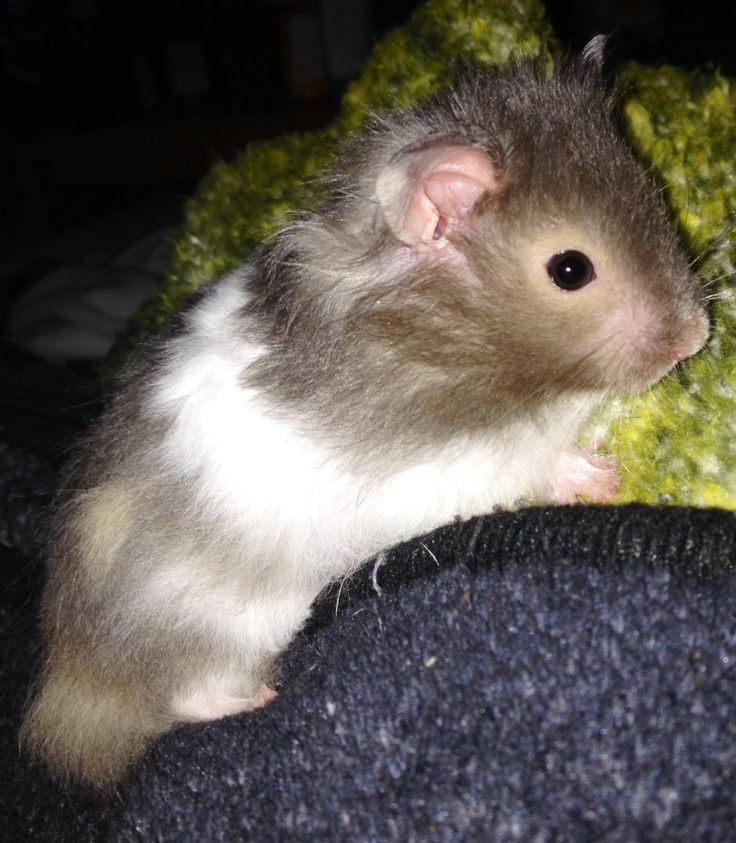 Globs my new long haired Syrian hamster ️ | Animals