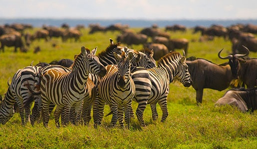 Experience the massive herds of animals, like these zebras in the Serengeti plains.