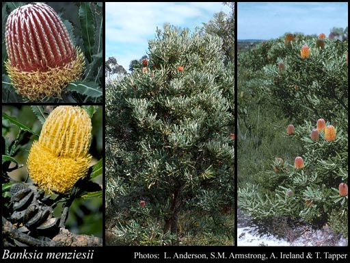 Photo of Banksia menziesii R.Br.