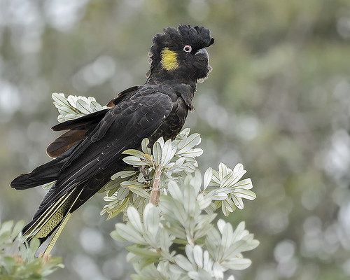 Yellow-tailed Black-Cockatoo | Flickr - Photo Sharing!