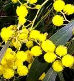 Golden Wattle - (Acacia pycnantha)   The Golden Wattle is used as a symbol of Australia the branches of the Wattle are used as an ornamental accessory on the Australian coat of arms.  The Wattle tree explodes with very bright yellow flowers when in season. The Wattle has been exported to the northern hemisphere and is to be found in Britain, California and far as South Africa.   Commonwealth of Australia