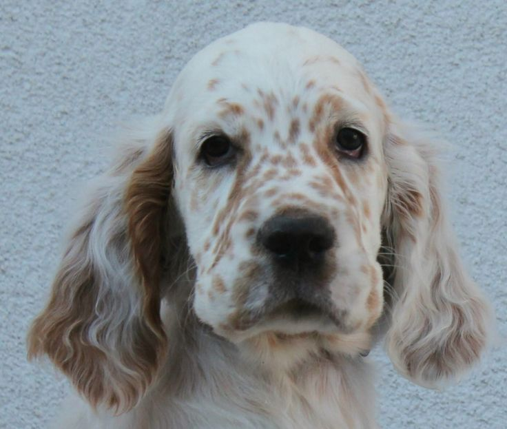 1000  images about i love irish setters  u0026 other setters too  on pinterest