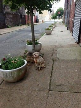 PLEASE SHARE her story!!!  PLEASE HELP if you can!!! Rescue seeks help to identify abuser of injured dog, tied to tree in Philly