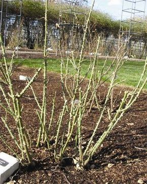25 b sta types of rose bushes id erna p pinterest - Spring trimming orchard trees healthy ...
