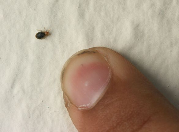 Bed Bugs Are Small And Come Out Mostly At Night