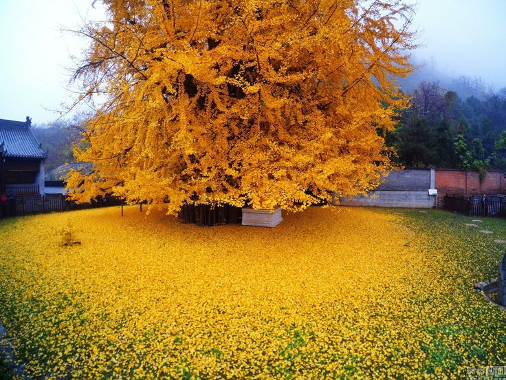 This towering ginkgo tree is located within the walls of the Gu Guanyin Buddhist Temple in the Zhongnan Mountains in China. Every autumn the green leaves on the 1,400-year-old tree turn bright yellow and fall into a golden heap on the temple grounds drawing tourists from the surrounding area. You