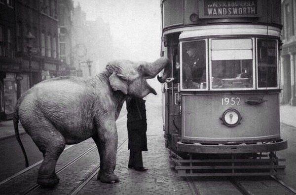 Слон останавливает трамвай, чтобы съесть яблоко от водителя. Лондон, 1936 год