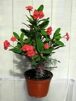 Crown of thorns plant.  Flowers almost all year, or so the article says.
