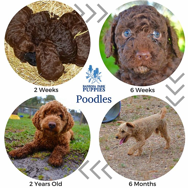 Poodles come in various sizes but we primarily breed mini-Poodles! They are playful and intelligent and therefore very receptive to training! 🐶🐾