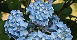 Manual de cultivo de hortensias en el jardín