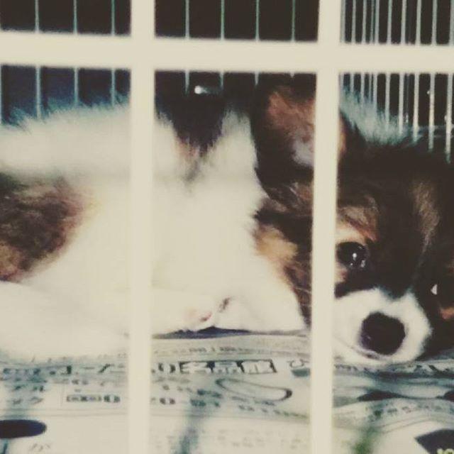 * #バレンタインデー の今日は、我が家のお笑い担当犬だったチョコちゃんの誕生日🐶🎂🎉 うちに迎えた時、お姉ちゃん犬のモモに続いて花の名前『さくら』と名付けたけど、どうもしっくりこない😵💦 う~ん!と思ってたら誕生日が2月14日だと判明し、愛でたくチョコレートの『チョコ』に改名されました😌🍫💕 #思い出写真 #パピヨン #愛犬 #誕生日 #虹の橋  #papillon #papillonlove #memory