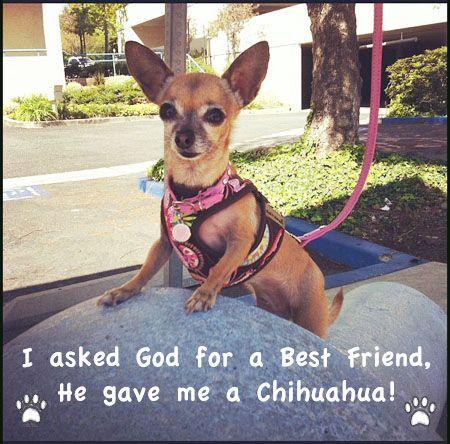 No!  He gave me 3 Chihuahuas!  I love them all ♥