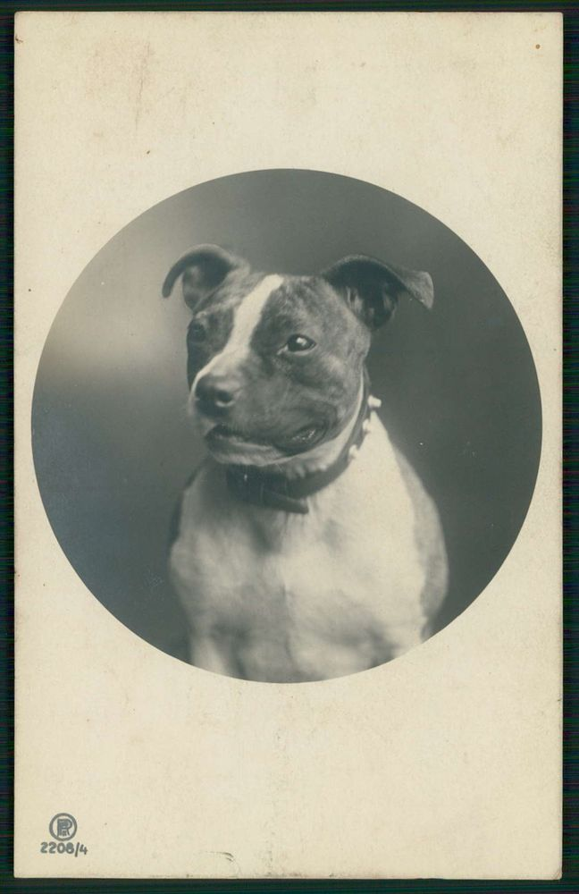 Staffordshire Pit bull terrier Dog original old c1910s photo postcard